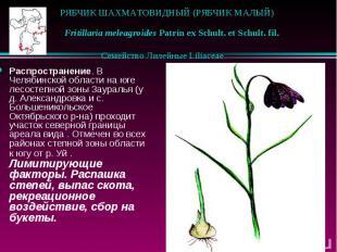РЯБЧИК ШАХМАТОВИДНЫЙ (РЯБЧИК МАЛЫЙ)  Fritillaria meleagroides Patrin