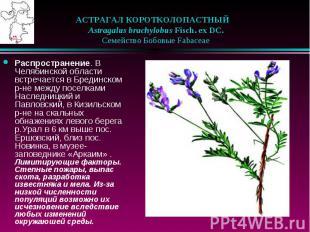 АСТРАГАЛ КОРОТКОЛОПАСТНЫЙ  Astragalus brachylobus Fisch. ex DC. &nbs