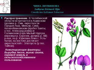 ЧИНА ЛИТВИНОВА  Lathyrus litvinovii Iljin  Семейство Боб