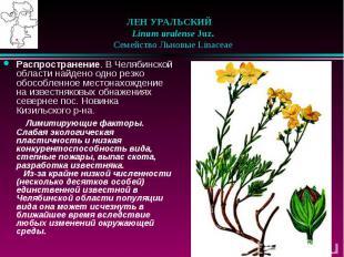 ЛЕН УРАЛЬСКИЙ  Linum uralense Juz.  Семейство Льновые Li