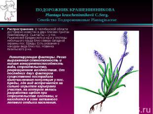 ПОДОРОЖНИК КРАШЕНИННИКОВА Plantago krascheninnikovii C.Serg. &