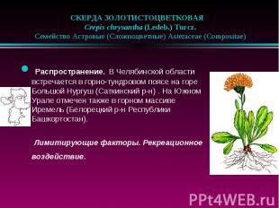 СКЕРДА ЗОЛОТИСТОЦВЕТКОВАЯ  Crepis chrysantha (Ledeb.) Turcz. &