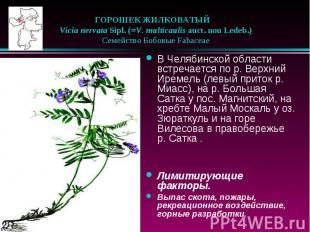 ГОРОШЕК ЖИЛКОВАТЫЙ  Vicia nervata Sipl. (=V. multicaulis auct. non L