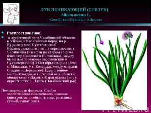 ЛУК ПОНИКАЮЩИЙ (СЛИЗУН)  Allium nutans L.  Семейство Лук
