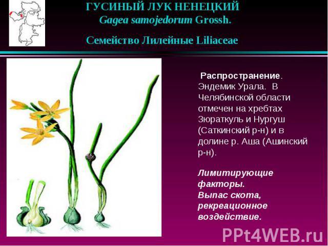 ГУСИНЫЙ ЛУК НЕНЕЦКИЙ  Gagea samojedorum Grossh.  Семейство Лилейные Liliaceae