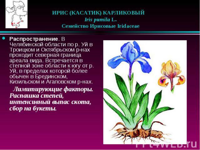 ИРИС (КАСАТИК) КАРЛИКОВЫЙ  Iris pumila L.  Семейство Ирисовые Iridaceae Распространение. В Челябинской области по р. Уй в Троицком и Октябрьском р-нах проходит северная граница ареала вида. Встречается в степной зоне области …