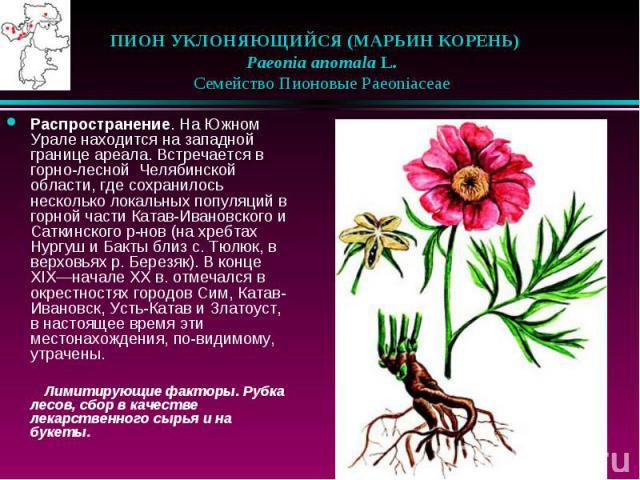 ПИОН УКЛОНЯЮЩИЙСЯ (МАРЬИН КОРЕНЬ)  Paeonia anomala L.  Семейство Пионовые Paeoniaceae Распространение. На Южном Урале находится на западной границе ареала. Встречается в горно-лесной Челябинской области, где сохранилось неско…