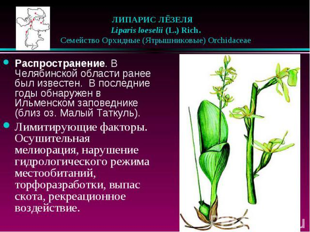 ЛИПАРИС ЛЁЗЕЛЯ  Liparis loeselii (L.) Rich.  Семейство Орхидные (Ятрышниковые) Orchidaceae Распространение. В Челябинской области ранее был известен. В последние годы обнаружен в Ильменском заповеднике (близ оз. Малый Таткуль…