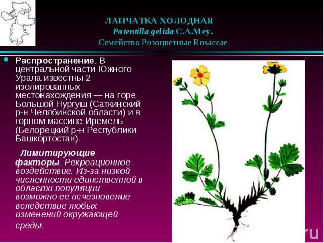 ЛАПЧАТКА ХОЛОДНАЯ  Potentilla gelida C.A.Mey.  Семейство Розоцветные Rosaceae Распространение. В центральной части Южного Урала известны 2 изолированных местонахождения — на горе Большой Нургуш (Саткинский р-н Челябинской обл…