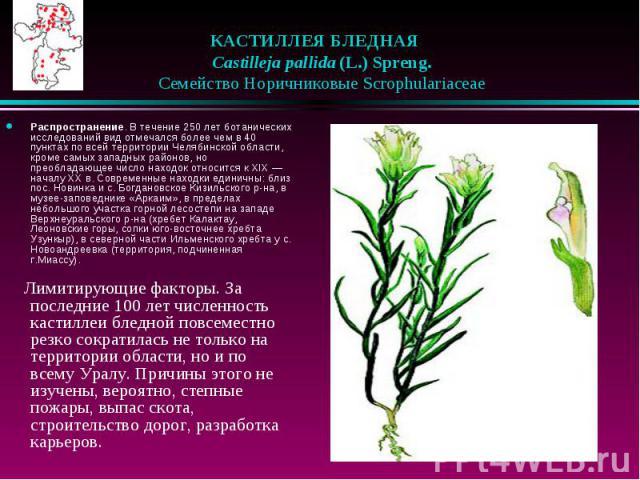 КАСТИЛЛЕЯ БЛЕДНАЯ  Castilleja pallida (L.) Spreng.  Семейство Норичниковые Scrophulariaceae Распространение. В течение 250 лет ботанических исследований вид отмечался более чем в 40 пунктах по всей территории Челябинской обла…