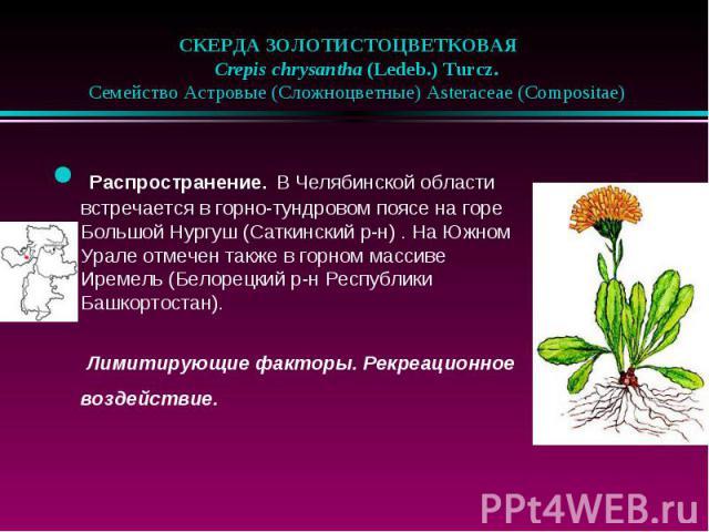 СКЕРДА ЗОЛОТИСТОЦВЕТКОВАЯ  Crepis chrysantha (Ledeb.) Turcz.  Семейство Астровые (Сложноцветные) Asteraceae (Compositae) Распространение. В Челябинской области встречается в горно-тундровом поясе на горе Большой Нургуш (Сатки…