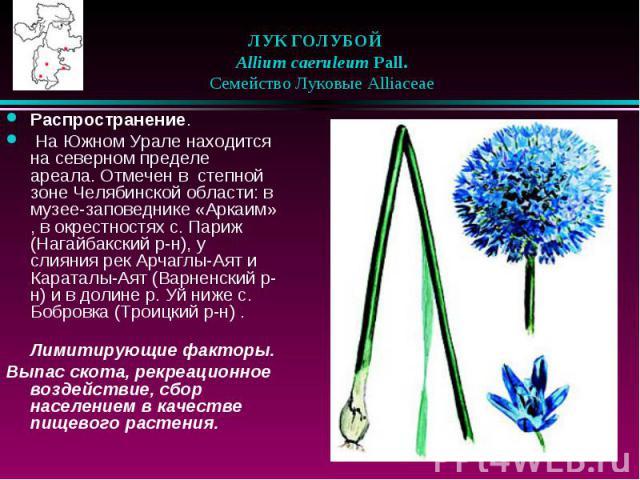 ЛУК ГОЛУБОЙ  Allium caeruleum Pall.  Семейство Луковые Alliaceae Распространение. На Южном Урале находится на северном пределе ареала. Отмечен в степной зоне Челябинской области: в музее-заповеднике «Аркаим» , в окрестностях …