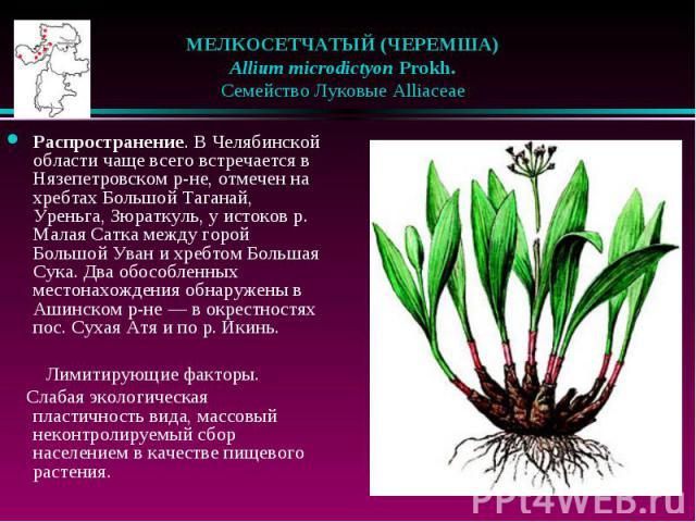 МЕЛКОСЕТЧАТЫЙ (ЧЕРЕМША)  Allium microdictyon Prokh.  Семейство Луковые Alliaceae Распространение. В Челябинской области чаще всего встречается в Нязепетровском р-не, отмечен на хребтах Большой Таганай, Уреньга, Зюраткуль, у и…