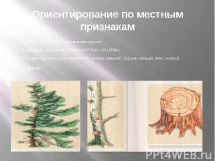 Ориентирование по местным признакам С северной стороны деревьев ветви короче. С