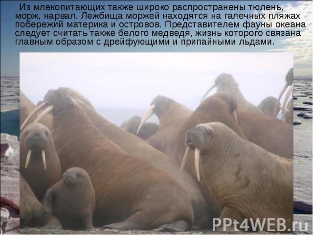 Из млекопитающих также широко распространены тюлень, морж, нарвал. Лежбища моржей находятся на галечных пляжах побережий материка и островов. Представителем фауны океана следует считать также белого медведя, жизнь которого связана главным образом с …