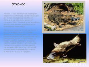 Утконос Утконос — скрытное ночное полуводное животное, населяющее берега небольш