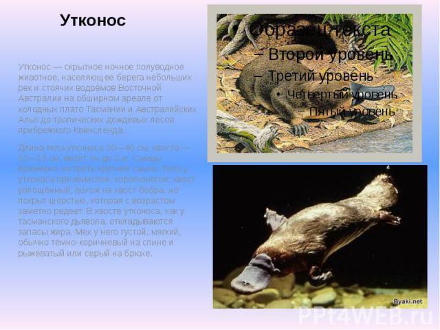 Утконос Утконос — скрытное ночное полуводное животное, населяющее берега небольших рек и стоячих водоёмов Восточной Австралии на обширном ареале от холодных плато Тасмании и Австралийских Альп до тропических дождевых лесов прибрежного Квинсленда. Дл…