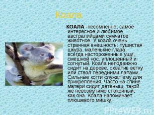 КОАЛА -несомненно, самое интересное и любимое австралийцами сумчатое животное. У