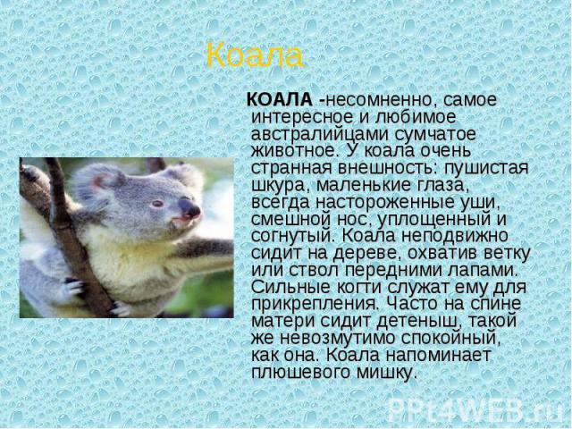 КОАЛА -несомненно, самое интересное и любимое австралийцами сумчатое животное. У коала очень странная внешность: пушистая шкура, маленькие глаза, всегда настороженные уши, смешной нос, уплощенный и согнутый. Коала неподвижно сидит на дереве, охватив…