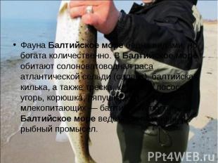 Фауна Балтийское море бедна видами, но богата количественно. В Балтийское море о