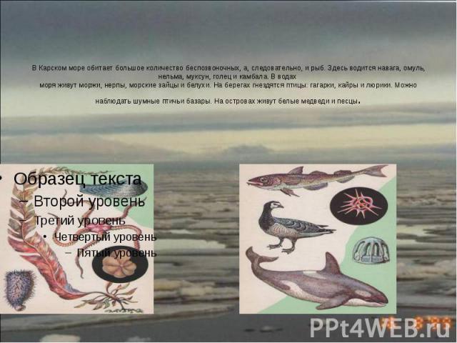 В Карском море обитает большое количество беспозвоночных, а, следовательно, и рыб. Здесь водится навага, омуль, нельма, муксун, голец и камбала. В водах моря живут моржи, нерпы, морские зайцы и белухи. На берегах гнездятся птицы: гагарки, кайры и лю…