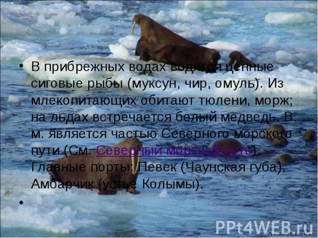 В прибрежных водах водятся ценные сиговые рыбы (муксун, чир, омуль). Из млекопитающих обитают тюлени, морж; на льдах встречается белый медведь. В. м. является частью Северного морского пути (См. Северный морской путь). Главные порты: Певек (Чаунская…