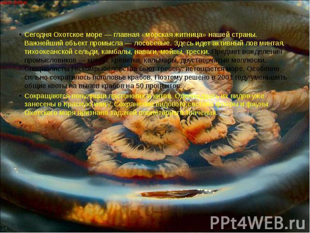 Сегодня Охотское море — главная «морская житница» нашей страны. Важнейший объект промысла — лососевые. Здесь идет активный лов минтая, тихоокеанской сельди, камбалы, наваги, мойвы, трески. Предмет вожделения промысловиков — крабы, креветки, кальмары…