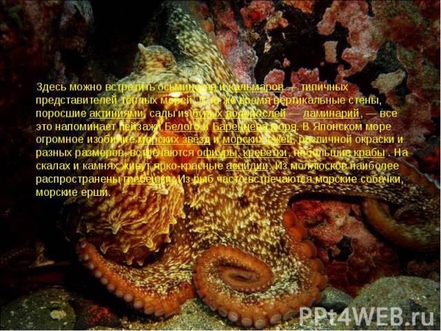 Здесь можно встретить осьминогов и кальмаров— типичных представителей тёплых морей. В то же время вертикальные стены, поросшие актиниями, сады из бурых водорослей— ламинарий,— все это напоминает пейзажи Белого и Баренцева моря. В Я…