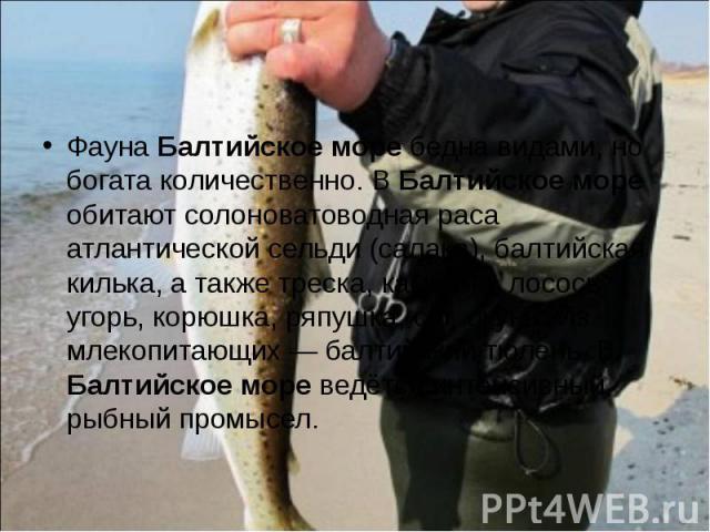 Фауна Балтийское море бедна видами, но богата количественно. В Балтийское море обитают солоноватоводная раса атлантической сельди (салака), балтийская килька, а также треска, камбала, лосось, угорь, корюшка, ряпушка, сиг, окунь. Из млекопитающих — б…