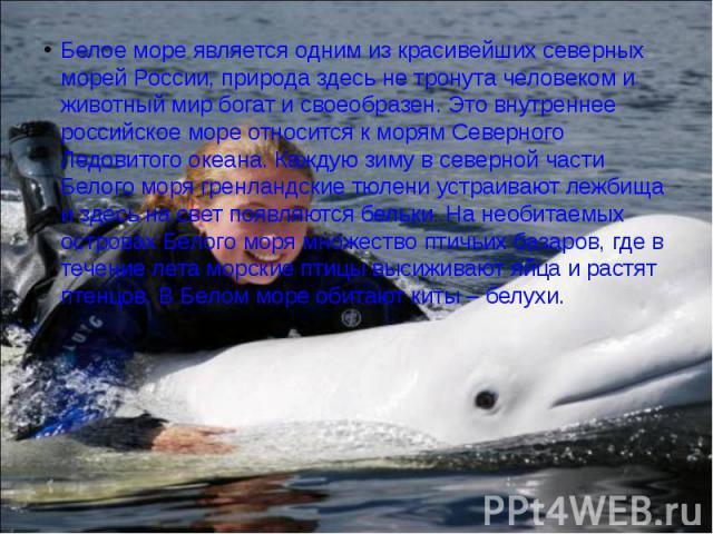 Белое море является одним из красивейших северных морей России, природа здесь не тронута человеком и животный мир богат и своеобразен. Это внутреннее российское море относится к морям Северного Ледовитого океана. Каждую зиму в северной части Белого …