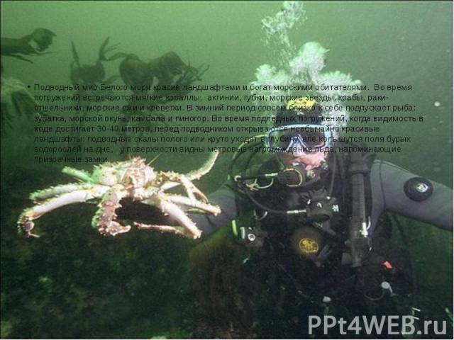 Подводный мир Белого моря красив ландшафтами и богат морскими обитателями. Во время погружений встречаются мягкие кораллы, актинии, губки, морские звезды, крабы, раки-отшельники, морские ежи и креветки. В зимний период совсем близко к се…