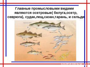 Главные промысловыми видами являются осетровые( белуга,осетр, севрюга), судак,ле