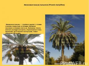 Финиковая пальма пальчатая (Phoenix dactylifera) Финиковая пальма — стройное дер