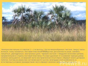 Веерная пальма (Chamaerops humilis)  Низкорослая пальма со стволом 1 — 2 м