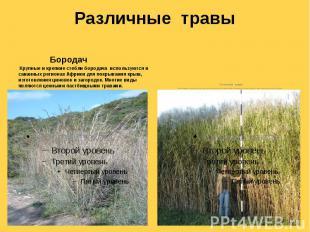 Различные травы Бородач Крупные и крепкие стебли бородача используются в саванны