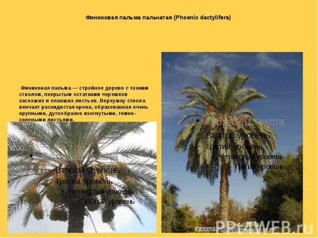 Финиковая пальма пальчатая (Phoenix dactylifera) Финиковая пальма — стройное дерево с тонким стволом, покрытым остатками черешков засохших и опавших листьев. Верхушку ствола венчает раскидистая крона, образованная очень крупными, дугообразно изогнут…