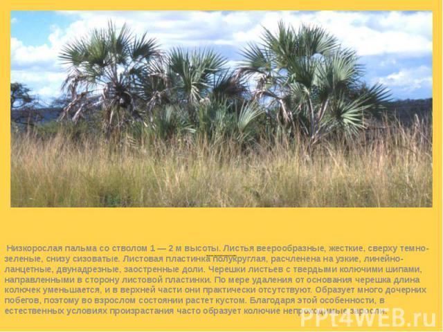 Веерная пальма (Chamaerops humilis)  Низкорослая пальма со стволом 1 — 2 м высоты. Листья веерообразные, жесткие, сверху темно-зеленые, снизу сизоватые. Листовая пластинка полукруглая, расчленена на узкие, линейно-ланцетные, двунадрезные, заос…