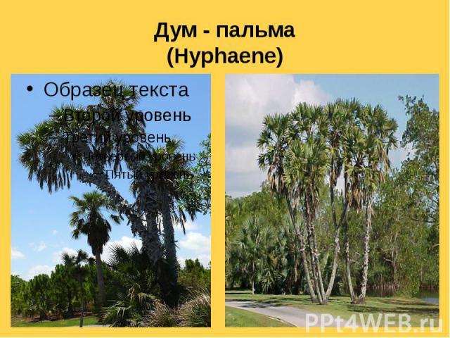 Дум - пальма (Hyphaene)