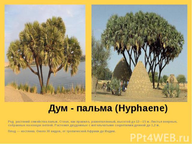 Дум - пальма (Hyphaene) Род растений семейства пальм. Ствол, как правило, разветвлённый, высотой до 12—15 м. Листья веерные, собранные на концах ветвей. Растения двудомные с метельчатыми соцветиями длиной до 1,2 м. Плод — костянка. Около 30 видов, о…