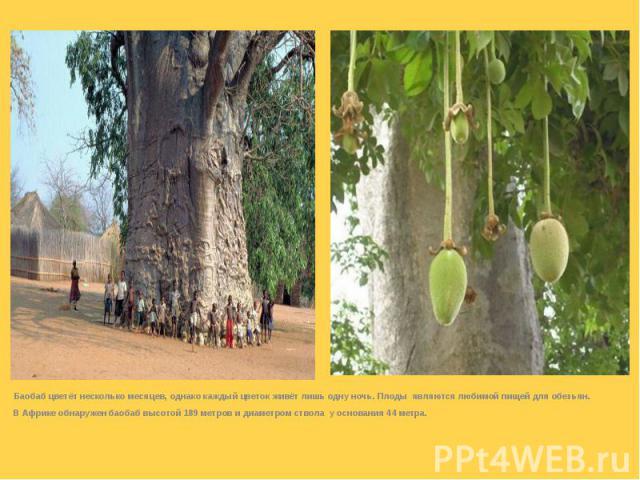 Баобаб цветёт несколько месяцев, однако каждый цветок живёт лишь одну ночь. Плоды являются любимой пищей для обезьян. В Африке обнаружен баобаб высотой 189 метров и диаметром ствола у основания 44 метра.