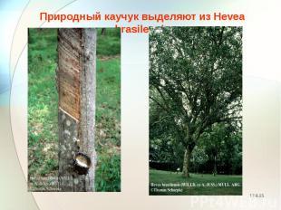 Природный каучук выделяют из Hevea brasilensis Природный каучук выделяют из Heve