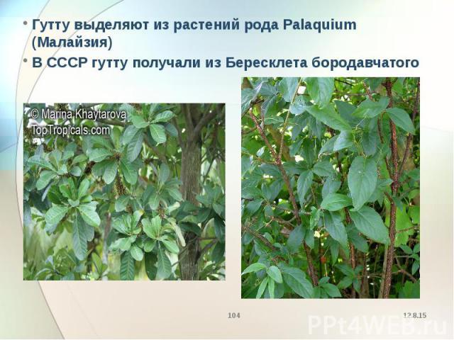 Гутту выделяют из растений рода Palaquium (Малайзия) Гутту выделяют из растений рода Palaquium (Малайзия) В СССР гутту получали из Бересклета бородавчатого