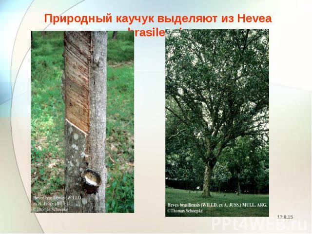 Природный каучук выделяют из Hevea brasilensis Природный каучук выделяют из Hevea brasilensis