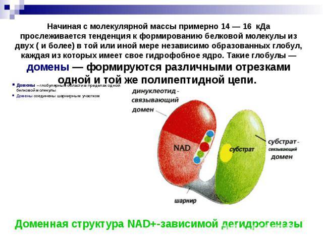 Домены – глобулярные области в пределах одной белковой молекулы Домены – глобулярные области в пределах одной белковой молекулы Домены соединены шарнирным участком