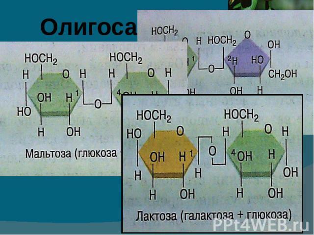 Образованы двумя или несколькими моносахаридами, связанными ковалентво друг с другом с помощью гликозидной связи. Большинство олигосахаридов раствримы в воде и имеют сладкий вкус.