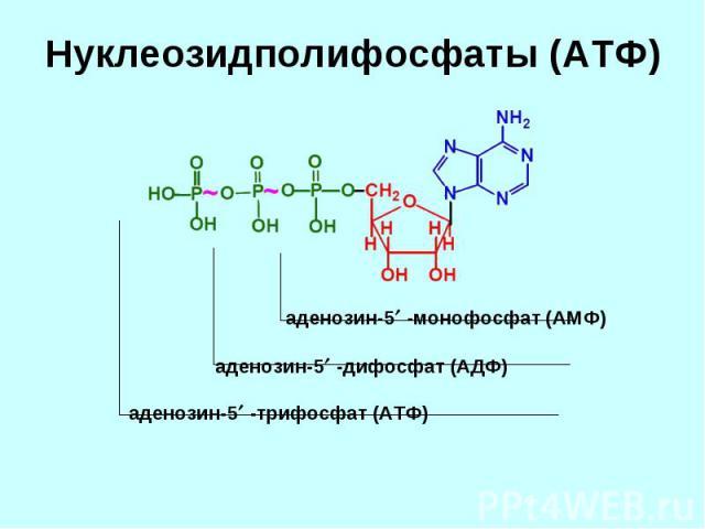 аденозин-5 -монофосфат (АМФ) аденозин-5 -дифосфат (АДФ) аденозин-5 -трифосфат (АТФ)
