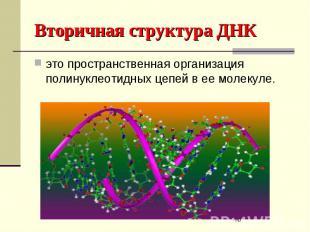 Вторичная структура ДНК это пространственная организация полинуклеотидных цепей