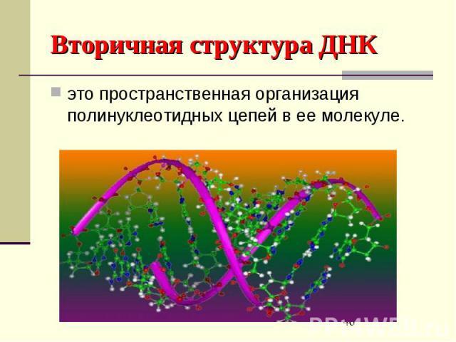 Вторичная структура ДНК это пространственная организация полинуклеотидных цепей в ее молекуле.