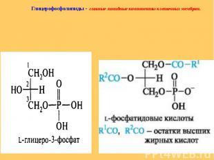 Глицерофосфолипиды - главные липидные компоненты клеточных мембран. Глицерофосфо