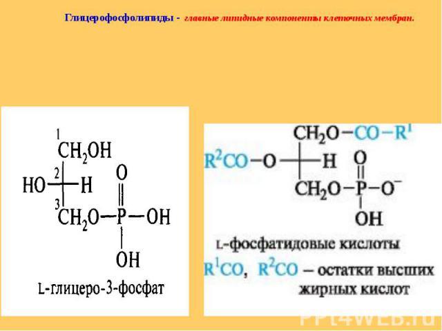 Глицерофосфолипиды - главные липидные компоненты клеточных мембран. Глицерофосфолипиды - главные липидные компоненты клеточных мембран.